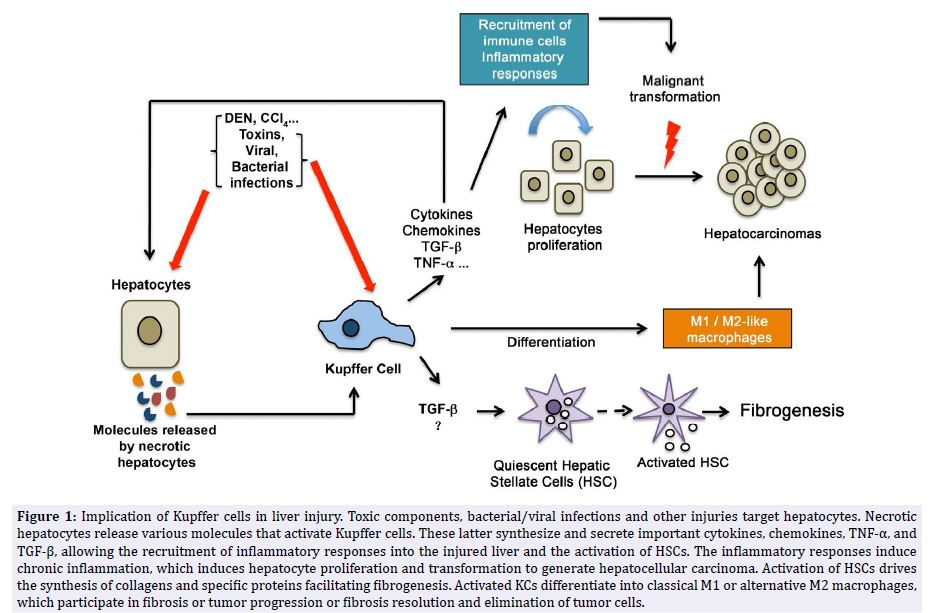 Kupffer Cell Metabolism And Function